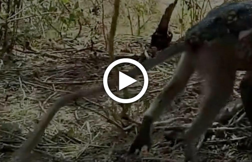 Irre Aufnahme: Monster-Echse verschlingt ganzen Affen, ohne zu kauen