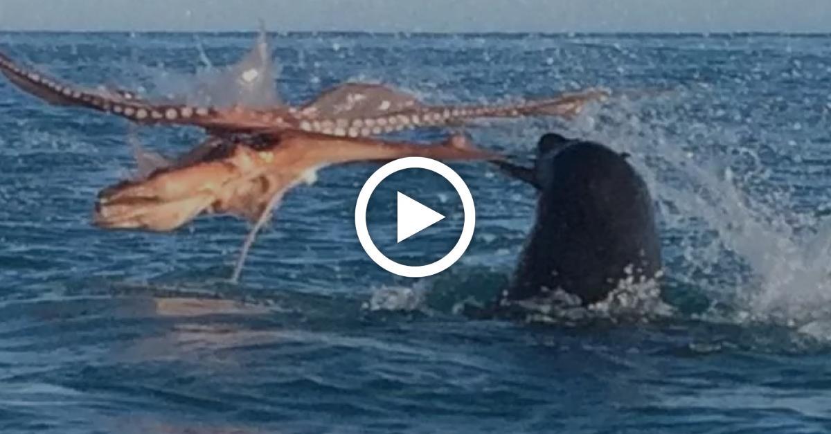 Robbe trifft auf Riesenkrake: Video zeigt verzweifelten Kampf auf Leben und Tod