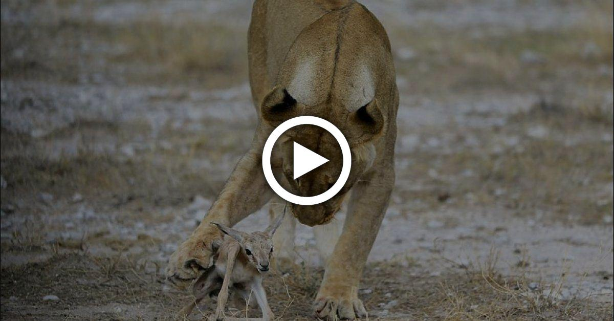 Löwin entdeckt junges Kalb in ihrem Revier - was folgt, ist einfach nur wunderbar