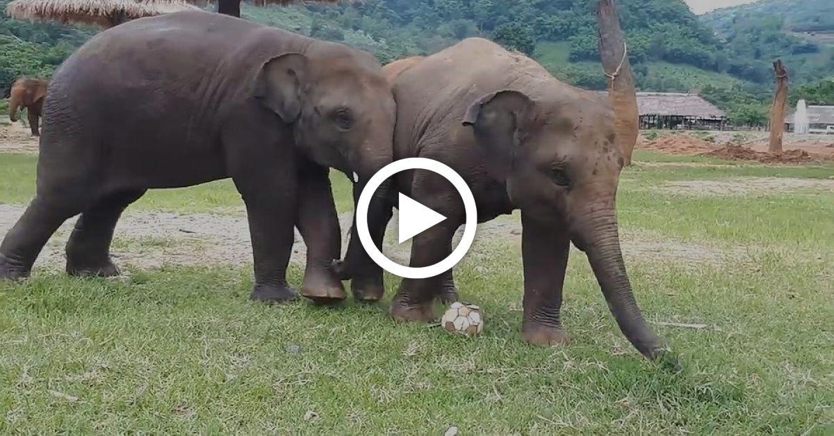 WM-Fieber im Reservat: Baby-Elefanten spielen Fußball und haben großen Spaß