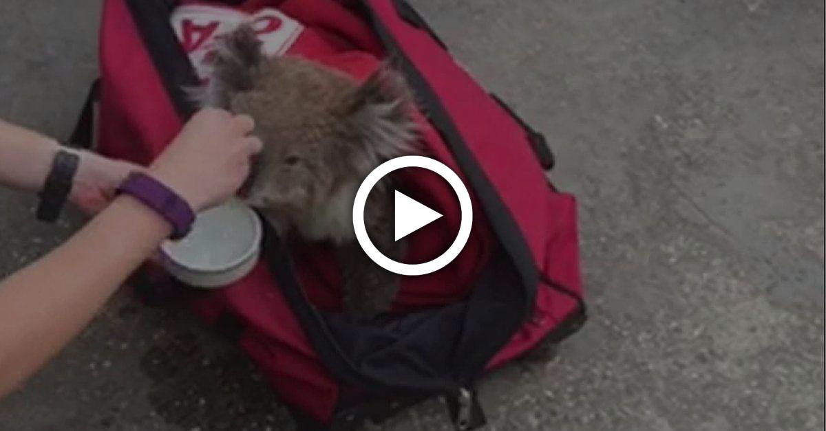 Australische Ärzte warnen, Koalas Wasser aus Flaschen zu geben